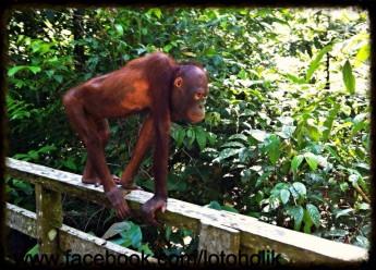 Dzień Orangutana
