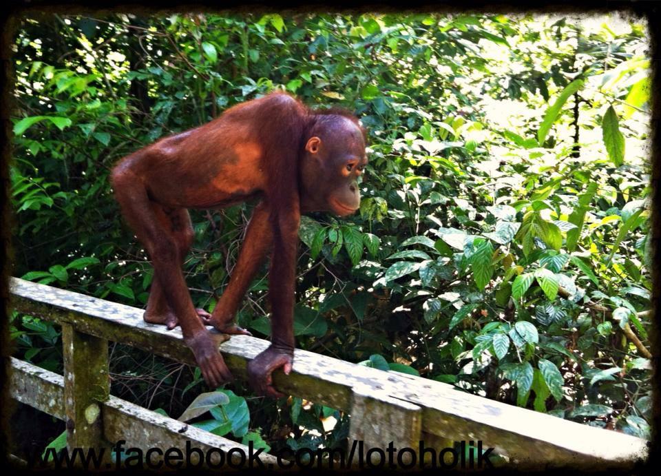 orangutam z Sepilok